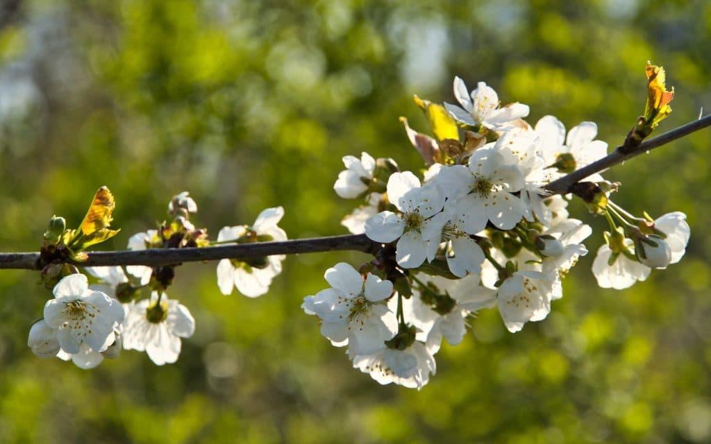 Vårblommor på träd